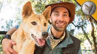 Dingo Meets a Coyote! YouTube Videos
