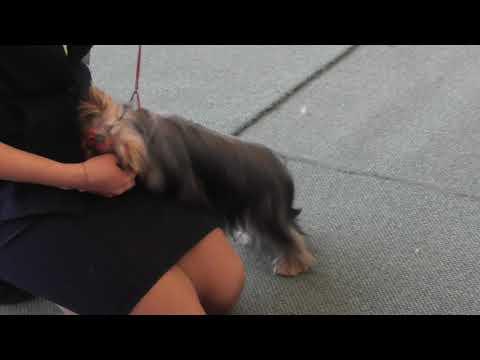 Йоркширский терьер, видео с выставки собак