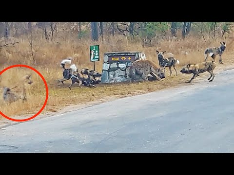 Hyena Cornered by Wild Dogs Calls for Backup!