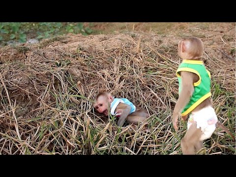 Lyly Loudly Screaming| Monkey Johny Very Panic When See Baby Lyly Cry Seizure In Grass