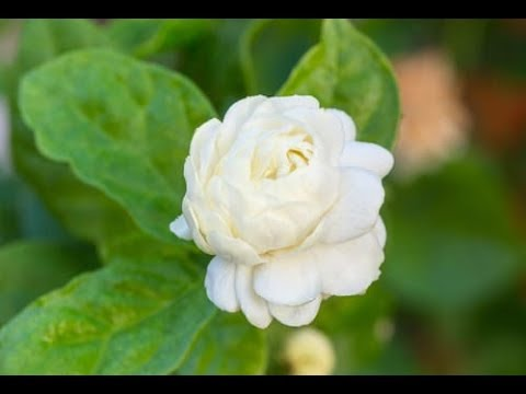 Jasmine video | Flowers name for kids