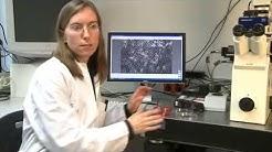 Wandelbare Bakterien - Staphylokokken