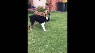 Dog Fight! Australian Shepherd Vs. Great Dane X - Wwe Style ...