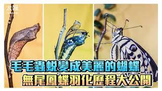毛毛蟲蛻變成美麗的蝴蝶 無尾鳳蝶羽化歷程大公開