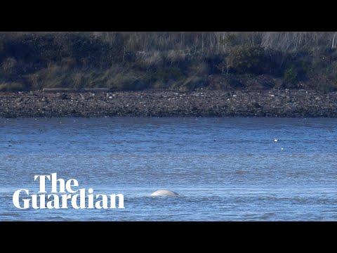 Beluga whale seen in Thames estuary