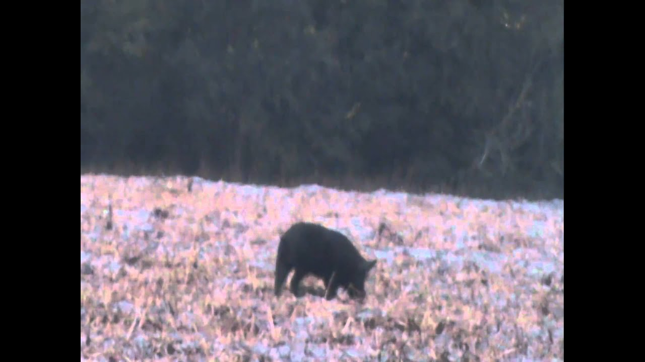 Fl Boar Hog Vs 223 Youtube