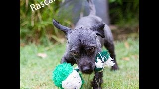 Rascal Has Been Adopted From Dog Rescue Newcastle, Poodle X Shih Tzu