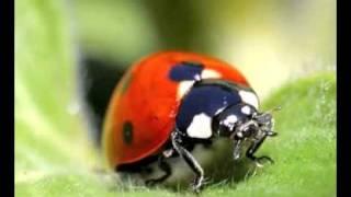 ladybug walk 1