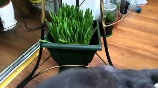 Трава для котов.