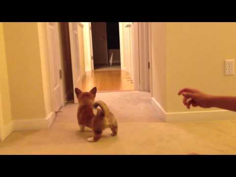 How to Tire a Corgi Puppy Before Bed