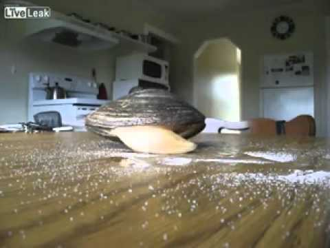 Live Clam Licks Salt On a Table