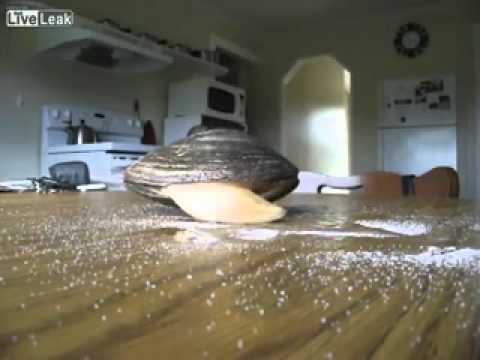 Live Clam Licks Salt On a Table