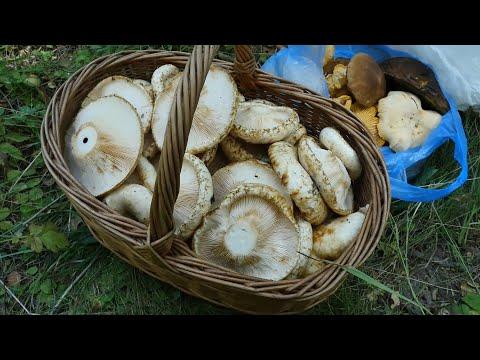 Парадоксы грибосбора: ехал за белыми, а нашел грузди настоящие! Lactarius resimus или груздь сырой