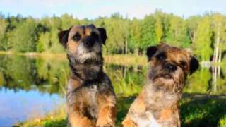 Autumn Tricks! performed by the Borderterriers Mira & Rut