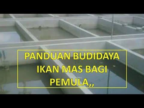 Cara Budidaya Ikan Mas Di Kolam Beton Bagi Pemula, Supaya ...
