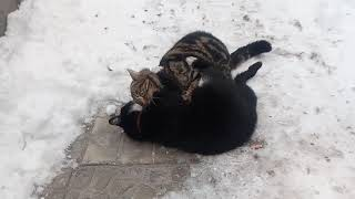 Бой кота за территорию.