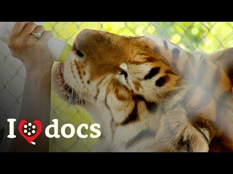 The American Tiger - Big Cat Zoo Documentary