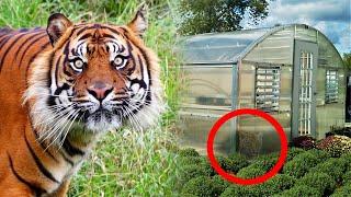 Тигрица бродила, плакала и что то искала вокруг китайских теплиц в приморье!