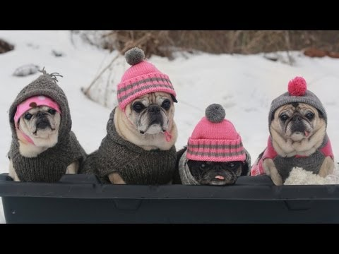 Cutest Pugs Snow Sledding Party
