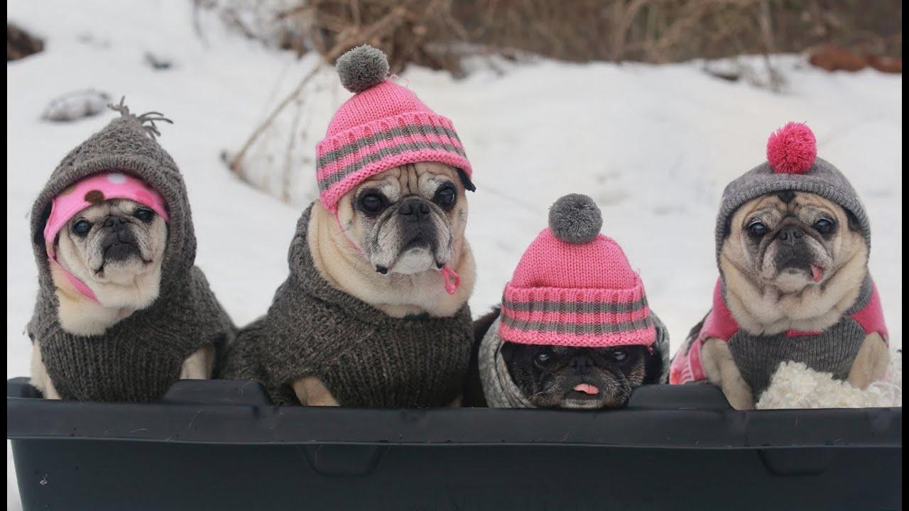 Cutest Pugs Snow Sledding Party Youtube