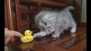 So Funny Cat Play With Duck Rubber | Ducks Toy And Cat 2018