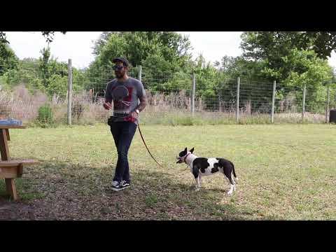 Shelter Dog - Walk Correction With Pet Corrector