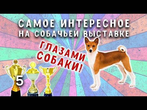 Выставка собак в Тольятти 12.02.2017 | Басенджи | Собаки