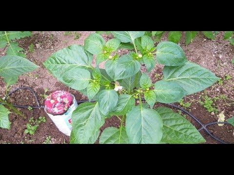 Перец ,что делаю,чтобы не опали цветы и сохранить завязи/Рассада баклажан   баклажаны   поливать   баклажан   теплице   теплица   рассады   рассада   листьев   перца   перец
