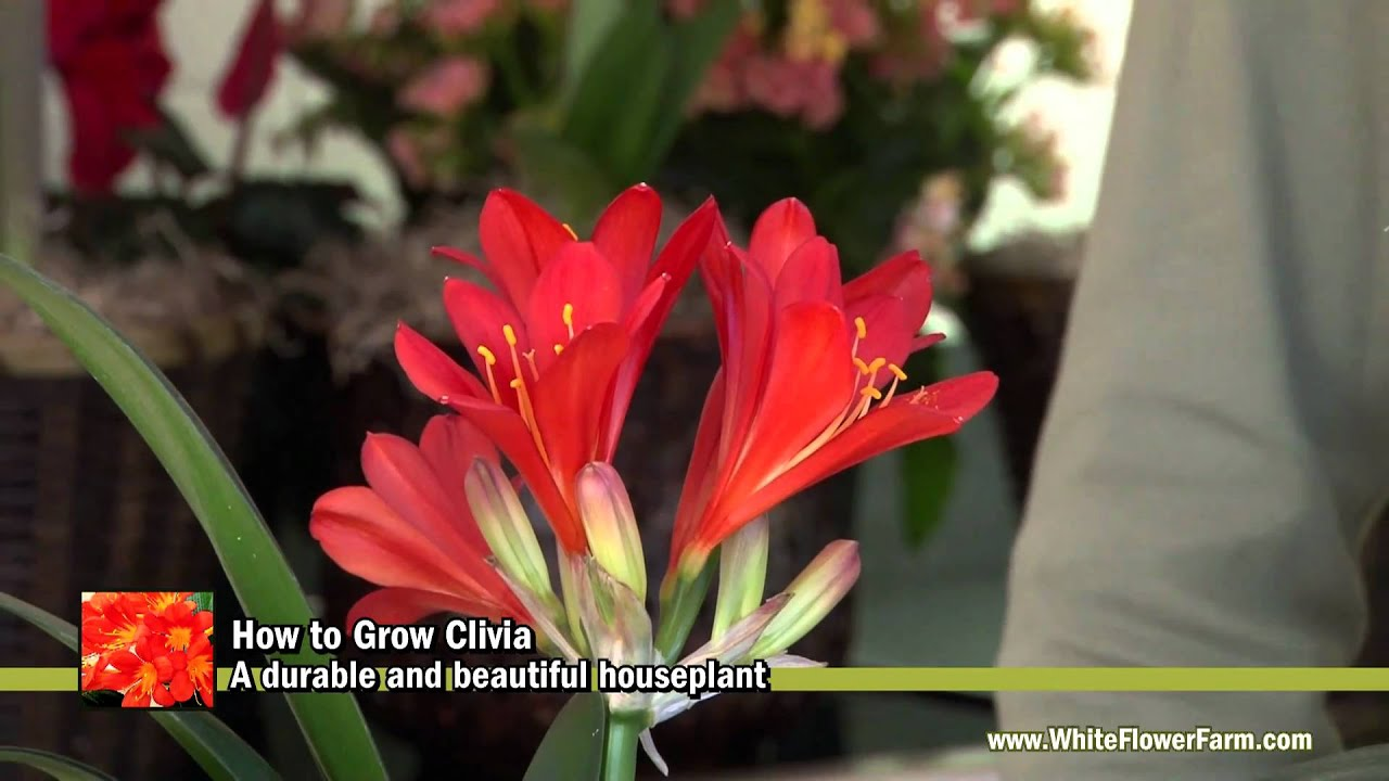How To Grow Clivia White Flower Farm Youtube