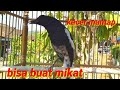 Kacdr Ful Emosi Buat Mancing Bunyi Kacer Lain Bisa Buat Mikat Kacer Hhtan  Mp3 - Mp4 Download