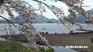河口湖と桜と富士山と 2017 04 25