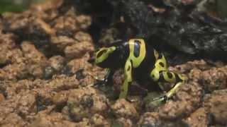 キオビヤドクガエルとコバルトヤドクガエル Dendrobates 東山動物園