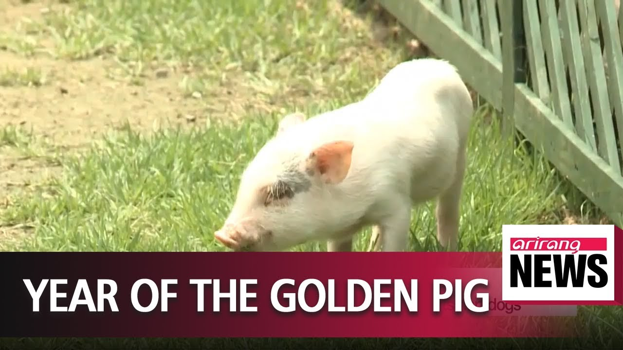 Closer look at pigs, celebrating the Year of the Golden Pig in 2019