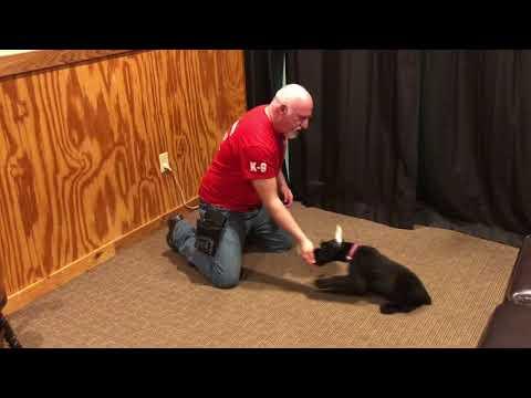 Quixie von Prufenpuden 11 Wks Giant Schnauzer Puppy Early Training