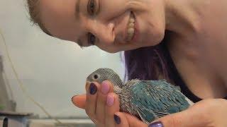 Голубые птицы. Рождение и рост птенцов попугая.