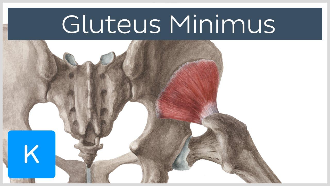 Gluteus Minimus Muscle - Origins & Function - Human Anatomy | Kenhub ...