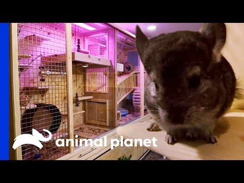 family-of-7-chinchillas-get-an-incredible-new-basement-enclosure-|-animal-cribs