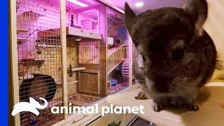 Baixar Family Of 7 Chinchillas Get An Incredible New Basement Enclosure | Animal Cribs