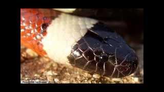 Top 10 serpents les plus venimeux au monde