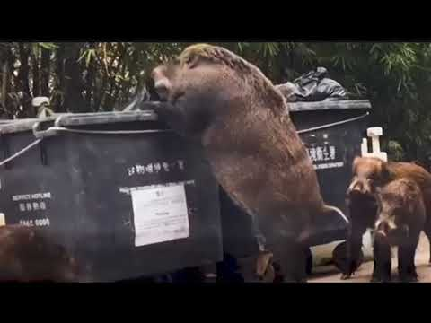 "Gigantic wild boar dubbed ""Pigzilla"" seen rummaging through dumpster"