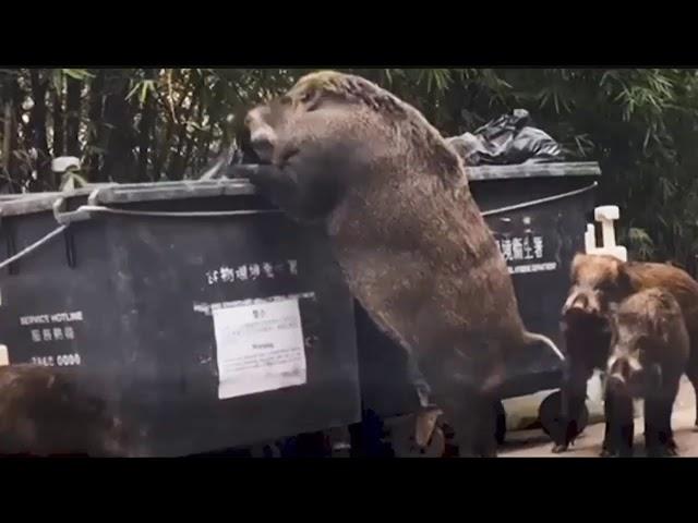 "Gigantic wild boar dubbed ""Pigzilla"" seen rummaging through dumpster"