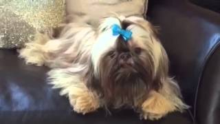 "Fairy Tail Shih Tzu Presents ""rain"" At 9 1/2 Months"