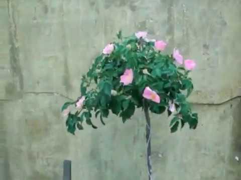 Уникальный способ!!! Штамбовые розы доступны всем.