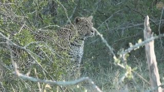 Safari Live : Hosana Male Leopard on drive with Noelle this afternoon Jan 15, 2018