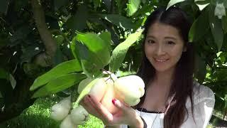 """日本にない珍しい果物!台湾の""""蓮霧(レンブ)""""を台湾美女が紹介 thumbnail"""