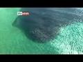 Hundreds Of Tiger Sharks In Feeding Frenzy