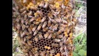 Apicoltura, nuclei di fecondazione. baby fecundador, nucleus; bienenzucht; beekeeping.