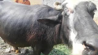 Watch nili ravi buffalo for sale 16_5_2019 in punjab