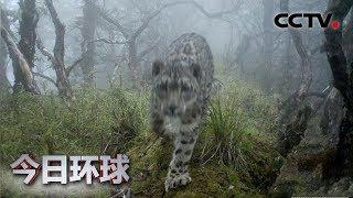 [今日环球]四川卧龙:罕见!雪豹现身大熊猫栖息地| CCTV中文国际