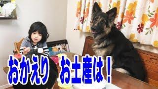 grandchild and German Shepherd dog ジャーマンシェパード犬マック君散...
